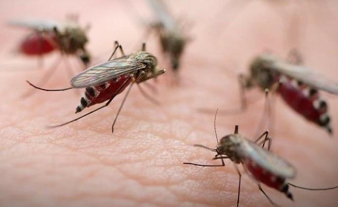 как кусает комар