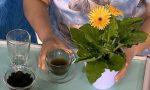 подкормка чаем комнатных растений