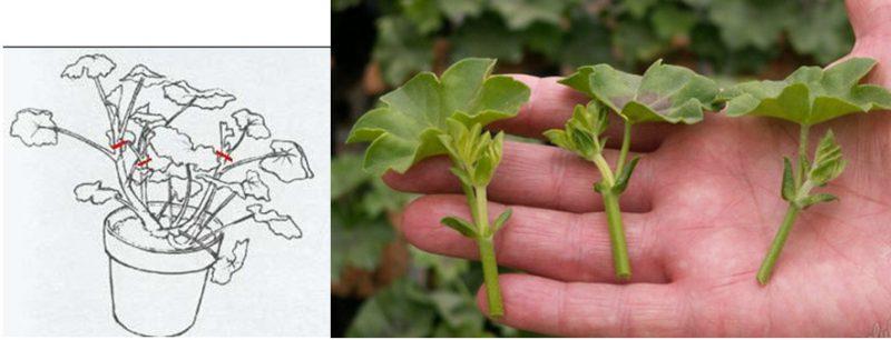 как срезать и какие должны быть ростки пеларгонии для посадки