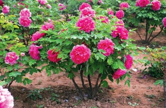 розовый древовидный пион