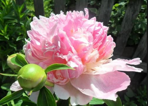 розовый травянистый пион