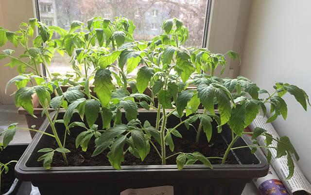 Как вырастить рассаду помидор, когда сажать и пикировать