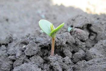 росток тыквы в открытом грунте
