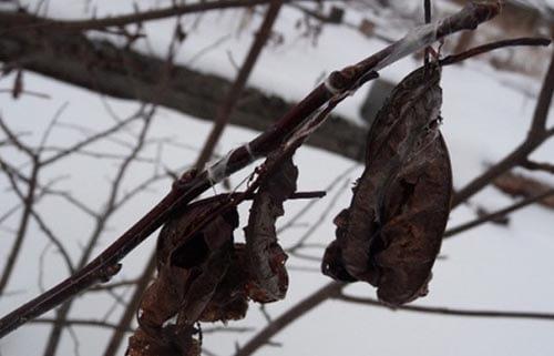 зимующие вредители