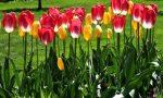 разноцветье тюльпанов