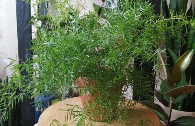 Как вырастить аспарагус из семян в домашних условиях