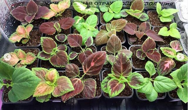 Посадка колеуса семенами на рассаду в домашних условиях
