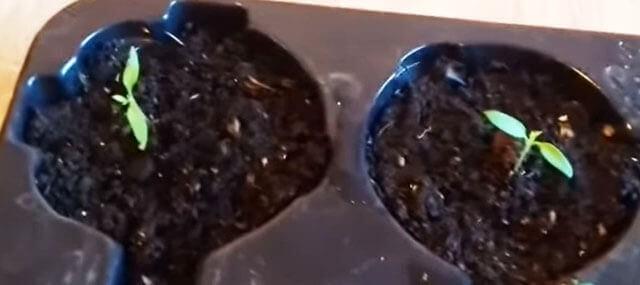 Вытягивается рассада помидор — что делать и как исправить
