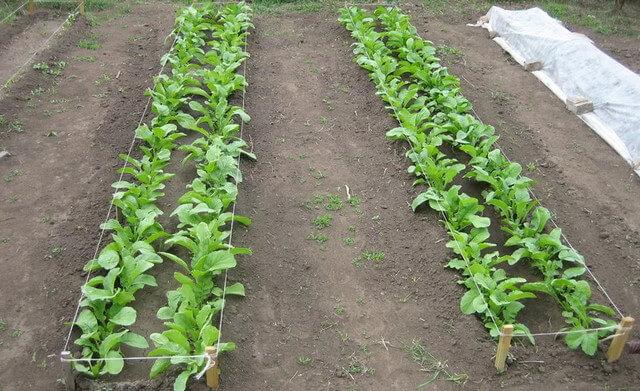 Когда можно высаживать редьку в землю семенами