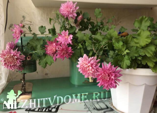 Хризантема после покупки в магазине - что делать