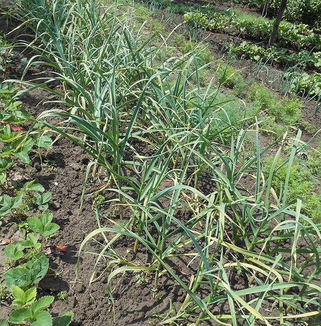 Посадить чеснок под зиму правильно и уход весной