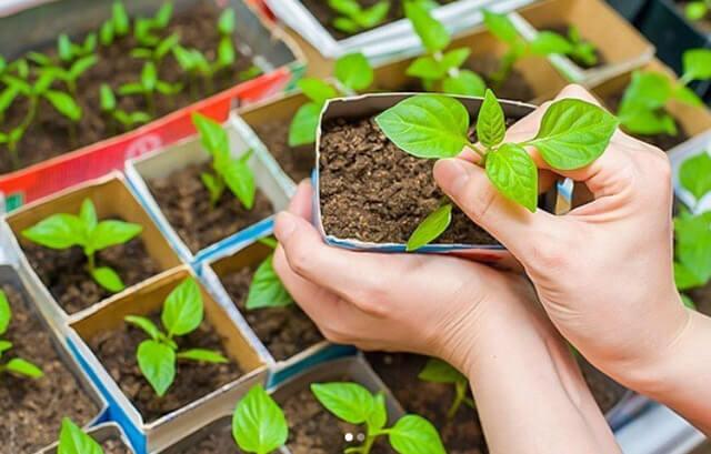 Как правильно посадить перец на рассаду дома на подоконнике