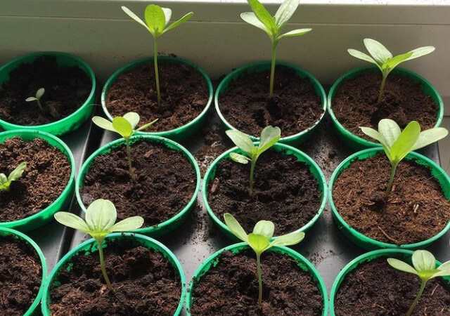 Циния – выращивание из семян, когда сажать на рассаду