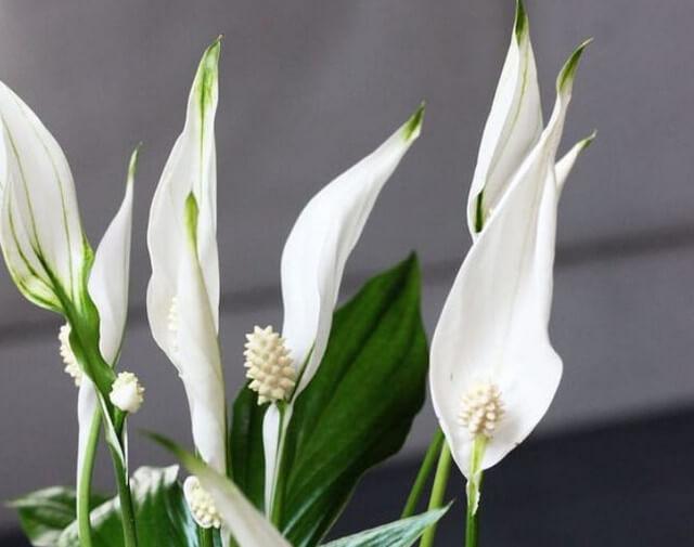 У цветка женское счастье сохнут кончики листьев, что делать
