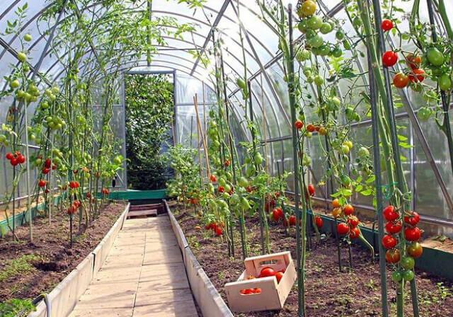 Уход за помидорами в теплице из поликарбоната: прищипывание, пасынкование, полив