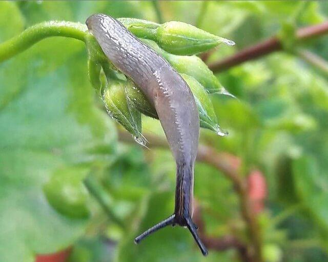 Слизни на огороде - как от них избавиться